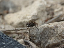 Fly Resting in a Rocky Yard Stock Images