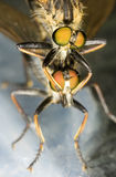 Fly Rhagio scolopaceus couple Royalty Free Stock Image