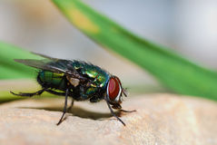 Fly on a rock. Fly sitting on a rock in the sun in summer Royalty Free Stock Photos