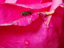 Fly on a rose Stock Photos