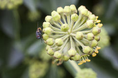 Fly rubbing its legs on flower Stock Images