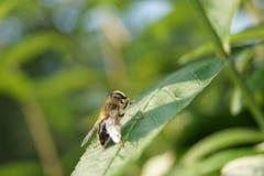 Fly on Rudbeckia Asteraceae flower. Fly onYellow rudbeckia flower garden summer bloom Royalty Free Stock Image