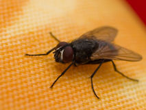 Fly on a rug. House Fly shot landed on a table rug Royalty Free Stock Image