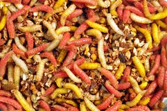 Fly's colourful larvae Stock Image