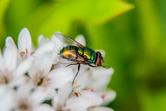 A Fly`s Life Royalty Free Stock Photos
