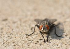 Fly on sand close up Royalty Free Stock Photos