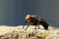 Fly on Sandstone Wall stock photography