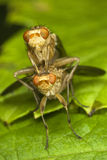 Fly Sapromyza couple Royalty Free Stock Photos