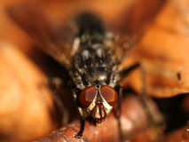 Fly - Sarcophaga carnaria Royalty Free Stock Images
