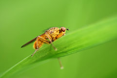 Fly - Scatophaga stercoraria Royalty Free Stock Images