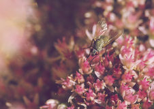 Fly on the sedum Stock Images