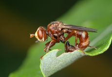 Fly Sicus ferrugineus Stock Images