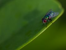 Fly sit on the green leaf Stock Photo