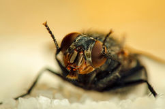 Fly sit on sugar Royalty Free Stock Photo