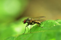 Fly. Sitiing at green leaf Stock Photography