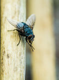Fly. A fly sits on a branch busily cleaning his forelegs. His compound eyes are clearly visible as are the hairs on his legs and metallic blue body. A plain out Royalty Free Stock Photo