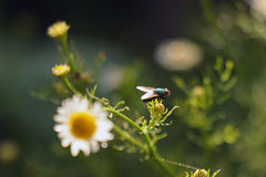 The fly sits on the chamomile flowers after the rain in the backlight of the sun. The fly sits on the chamomile flowers after the rain in the backlight of the royalty free stock photography