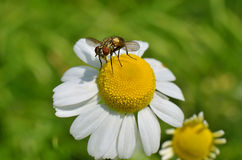 The fly sits on a field daisy, macro photo. Stock Image