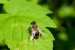 A fly sits on a green leaf stock photos
