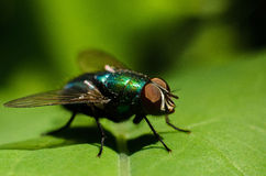 The fly sits on a piece of paper. Macro.  Stock Image