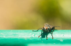 The fly sits on the surface is lit by the bright sun. Macro photo of an insect with an extreme enlargement blow-flies Royalty Free Stock Image