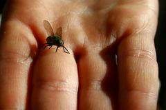 Fly sitting on child middle finger with extended siphon Stock Photography