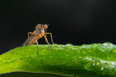 Fly sitting on a green leaf. Royalty Free Stock Images