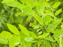 A fly sitting on green leaves with rain drops Royalty Free Stock Photography