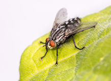 Fly sitting on a leaf Royalty Free Stock Photos