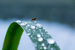 Fly sitting on a leaf with raindrops Royalty Free Stock Images