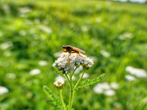 A fly is sitting on a meadow plant called yarrow Royalty Free Stock Images