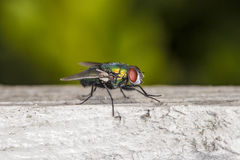 Fly sitting on a piece of wood Royalty Free Stock Photography