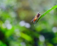 Fly sitting on plant. In summertime. Insect macro Royalty Free Stock Images