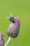 Fly sitting on purple flower Royalty Free Stock Images