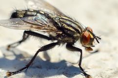 Fly. Sitting on a stone macro Royalty Free Stock Image