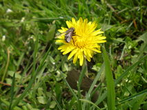 The fly sitting on a yellow dandelion. The yellow dandelion with fly on grass background stock photos
