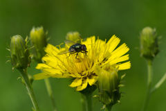 Fly on a sow-thistle flower Stock Photography