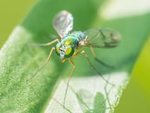 Fly species on a leaf - great detail of face and compound eyes - taken in Minnesota.  royalty free stock photos
