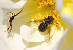 Fly and spider in a flower. The inside of a flower with a fly and a spider Stock Photo