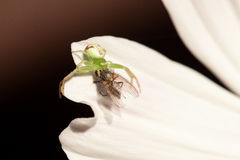 Fly and spider. In a flower Royalty Free Stock Photos