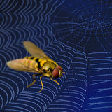 Fly in spider web. Danger Stock Images