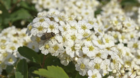 Fly and spirea Royalty Free Stock Photo