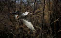 Fly of Spot-billed Pelican flight Stock Photography