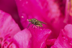 Fly standing inside red rhododendron flower in South Windsor, Co Royalty Free Stock Images