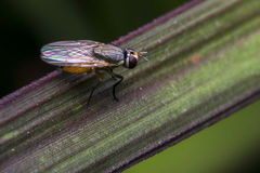 Fly standing on a leaf. Small fly standing on a leaf Stock Photos