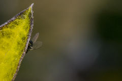 Fly standing on a leaf. Small fly standing on a leaf Royalty Free Stock Image