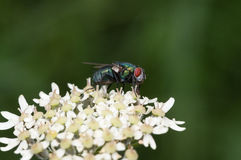 Fly standing on white flowers Royalty Free Stock Photos