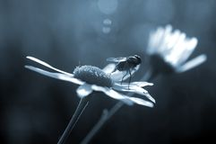 Fly stands on daisy Royalty Free Stock Images