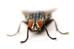 A Fly Staring Right at the Camera Stock Images