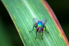 The fly stay on leaf to still after flying in nature Royalty Free Stock Photo